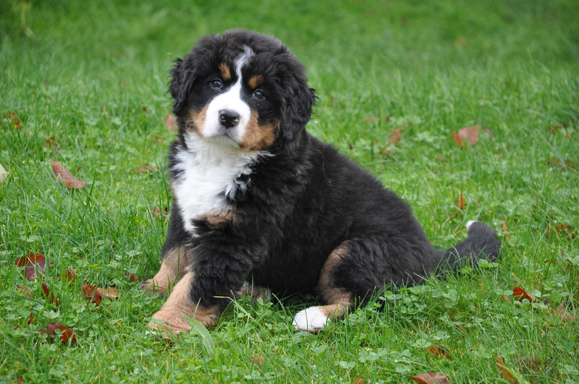 Names For Bernese Mountain Dog Puppies