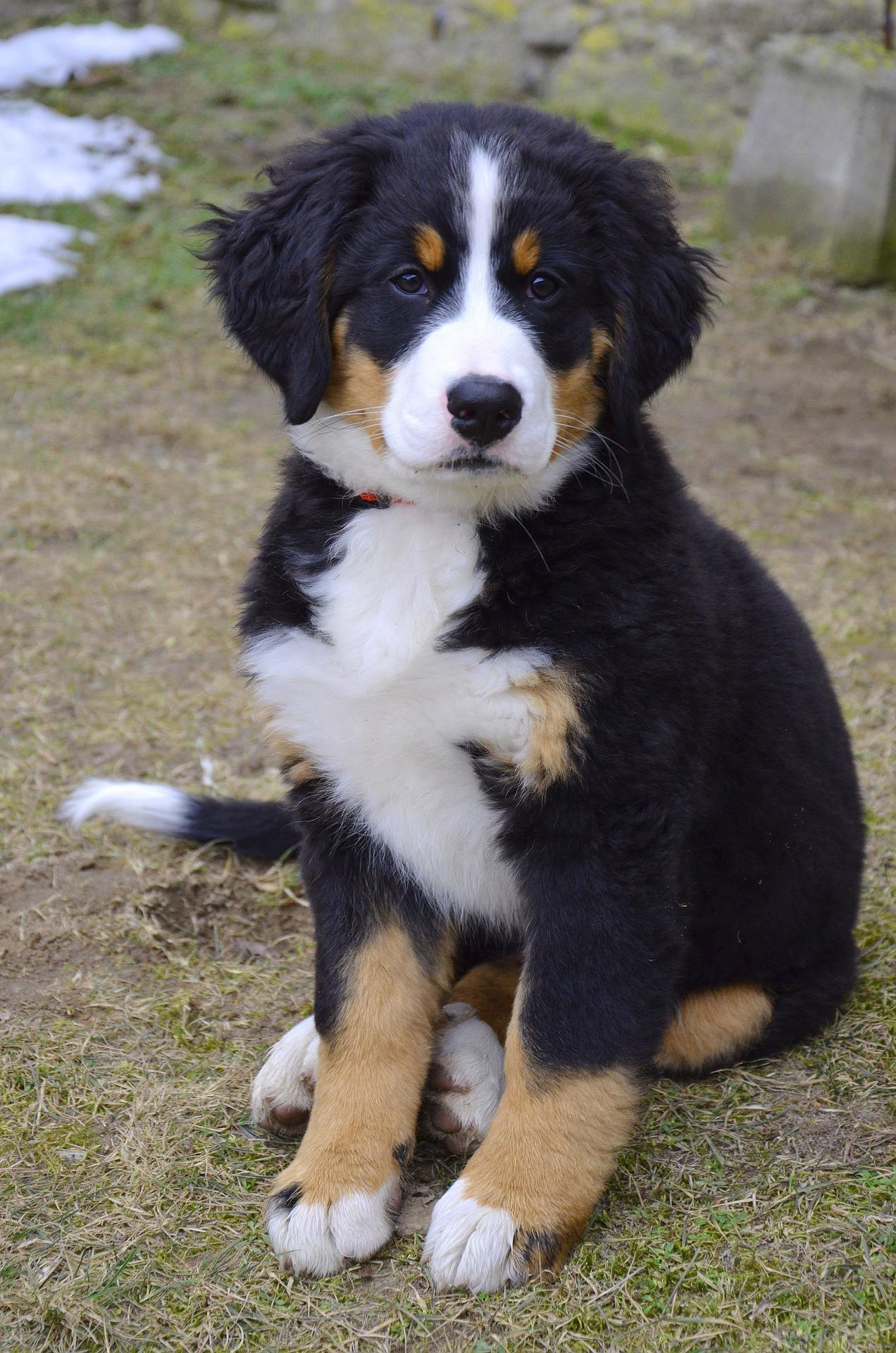 Saint Bernard Bernese Mountain Dog Mix Puppies