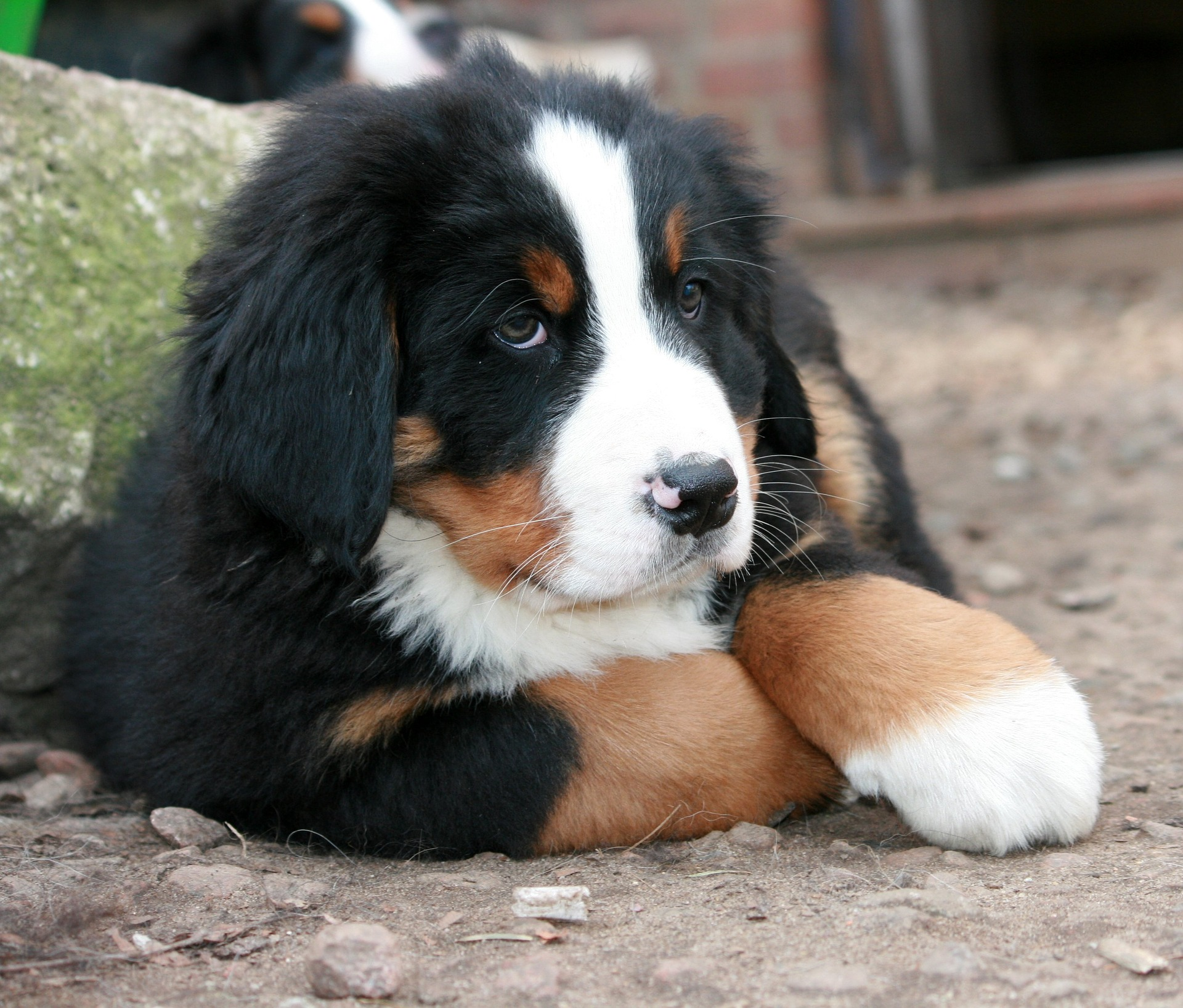 Large Bernese Mountain Dog
