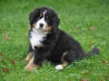Bernese Mountain Dog puppies 1