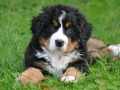 Bernese Mountain Dog puppies 2