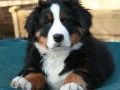Bernese Mountain Dog puppies 3