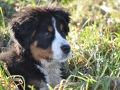 Bernese Mountain Dog puppies 4