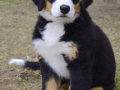 Bernese Mountain Dog puppies 5