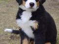 Bernese Mountain Dog puppies 5