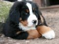 Bernese Mountain Dog puppies 6