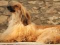 Afghan_Hound 5