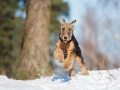 Airedale Terrier Puppy Jumps Outdoors In Winter