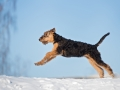 Airedale Terrier Puppy Running Outdoors In Winter