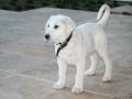 Akbash dog puppy 2