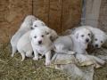 Akbash dog puppy 3
