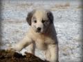 Akbash dog puppy 4