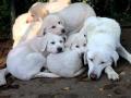 Akbash dog puppy 5