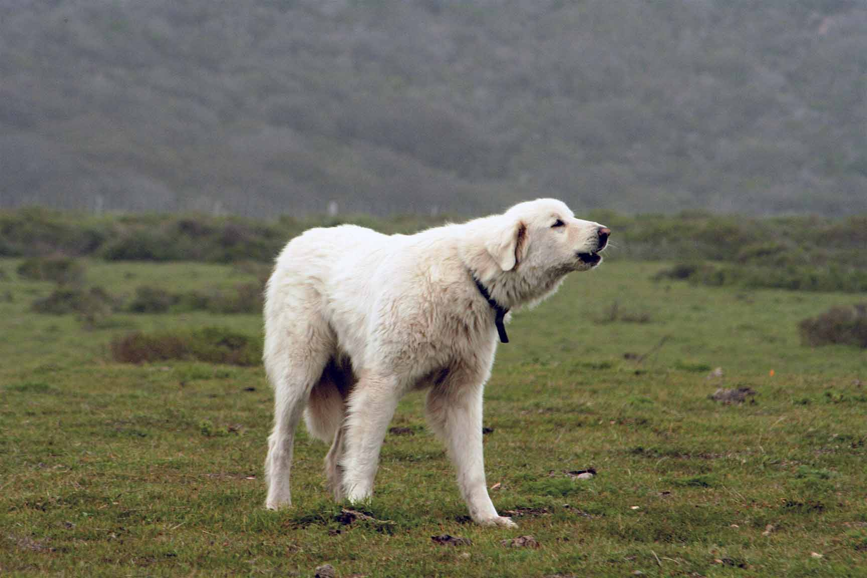 Big American Dog Breeds
