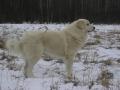 Akbash dog 2