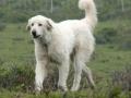 Akbash dog 3