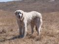Akbash dog 4