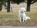 Akbash dog 5