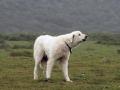 Akbash dog 6