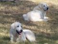 Akbash dog 7