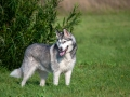 A Portrait Of An Alaskan Malamute Dog In Full Growth, Stands Near A Tall Green Bush, In The Backgrou