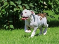 White American Bulldog puppy (four months old) running on the grass in the yard of the house