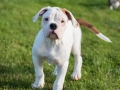 Funny Nice American Bulldog Puppy On Nature