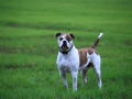 Grown american bulldog in green grass on field. Beautiful american bulldog.