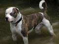 american-bulldog-dog-in-the-water-wallpaper.jpg