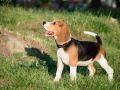 Beautiful Tricolor Puppy Of English Beagle Stay On Green Grass. Beagle Is A Breed Of Small Hound, Si