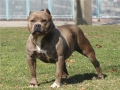 american pitbull terrier 5