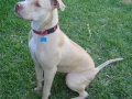 american pitbull terrier 3