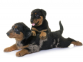 puppies beauceron in front of white background