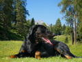 Big Dog Beauceron - Beautiful Breed