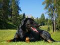Big Dog Beauceron - Beautiful Breed