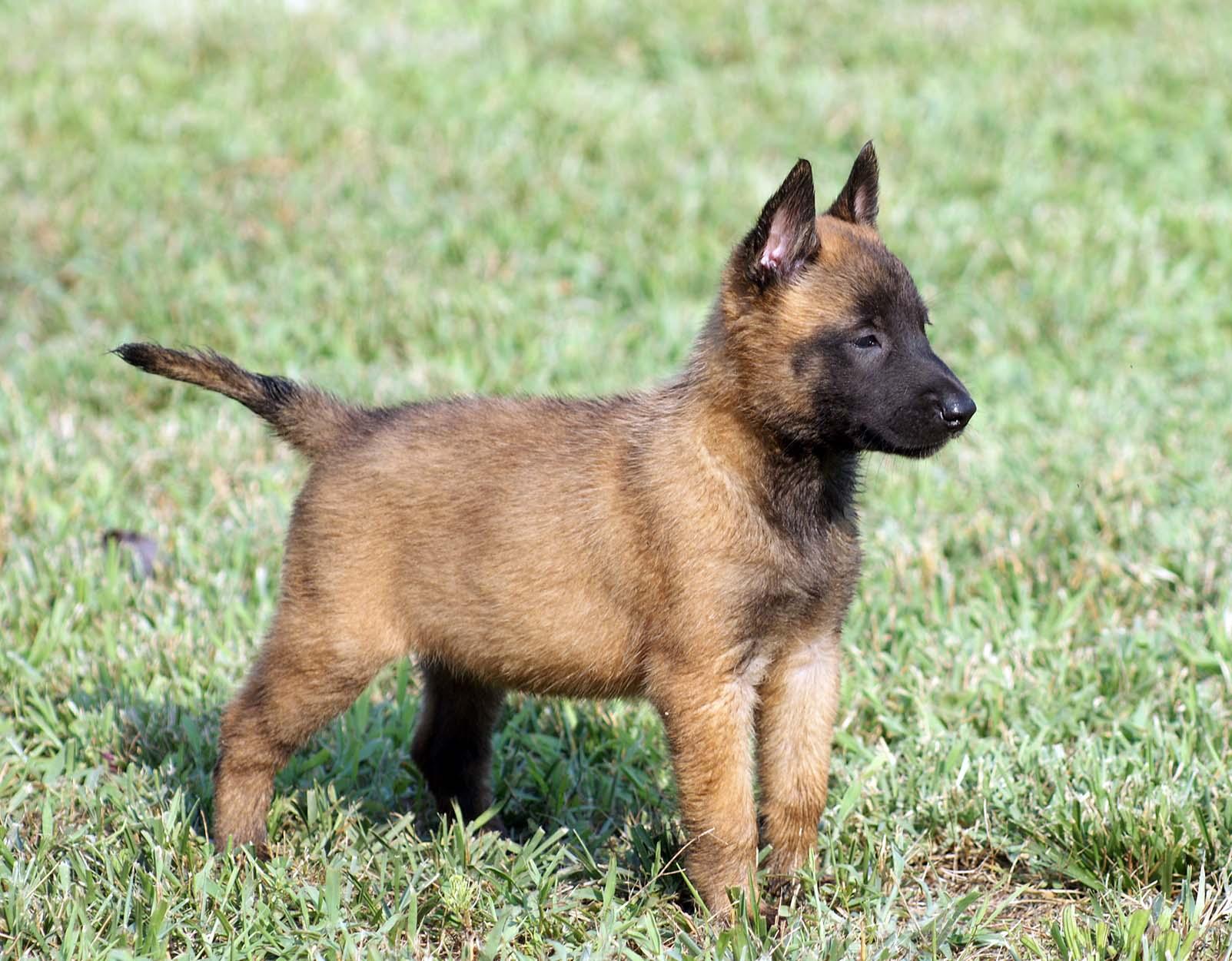 Belgian Malinois - All Big Dog Breeds