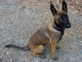 Belgian Malinois puppy 1