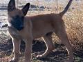 Belgian Malinois puppy 2