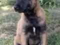 Belgian Malinois puppy 3