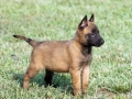 Belgian Malinois puppy 4