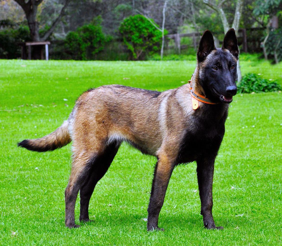 Belgian Malinois - big dogs - big dog breeds - types of big dogs ...