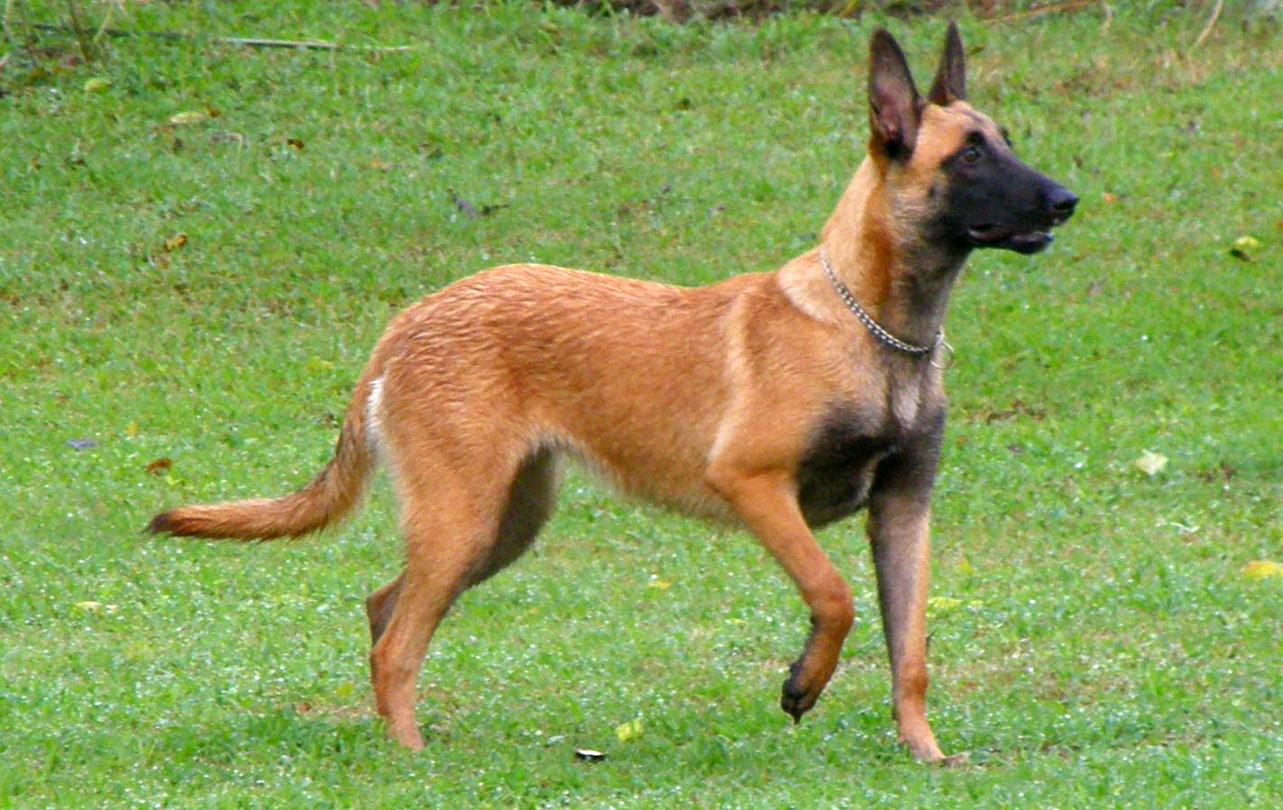 Belgian Malinois For Service Dogs