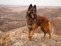 beautiful dog breed Belgian shepherd Tervuren portrait on the walk