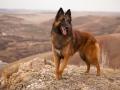 beautiful dog breed Belgian shepherd Tervuren portrait on the walk