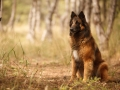 Beautiful Portrait Of The Dog Of Belgian Shepherd Tervuren For A Walk