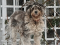 Bergamasco-sheepdog-merle-Paola-full.jpg