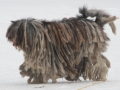 Bergamasco_shepherd_dog_-_merle_female_cropped.jpg