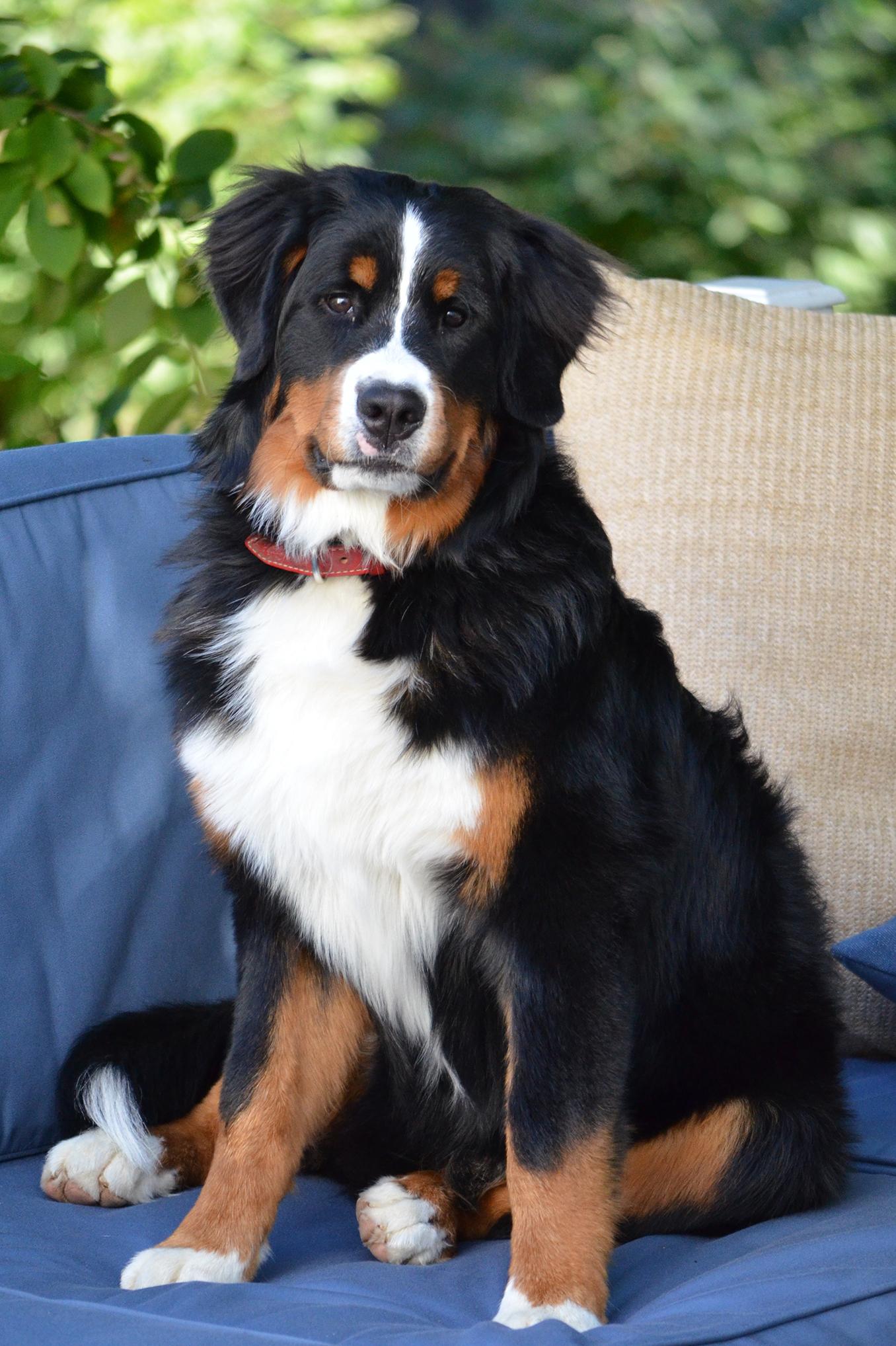 Bernese Mountain Dog - All Big Dog Breeds Bernese Dog