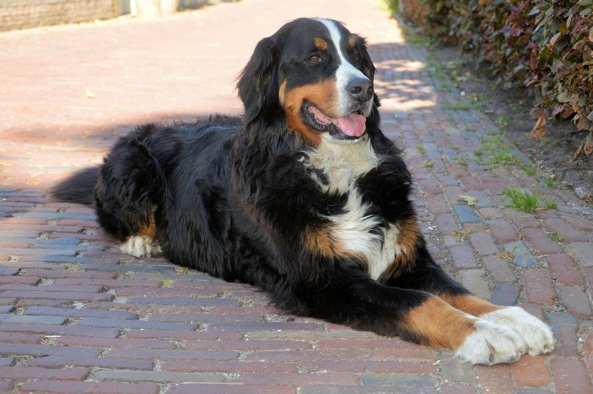 Bernese Mountain Dog All Big Dog Breeds