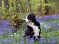 Bernese Mountain Dog 10